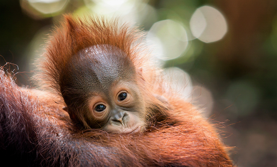 Baby Orangutan Travel Sustainably