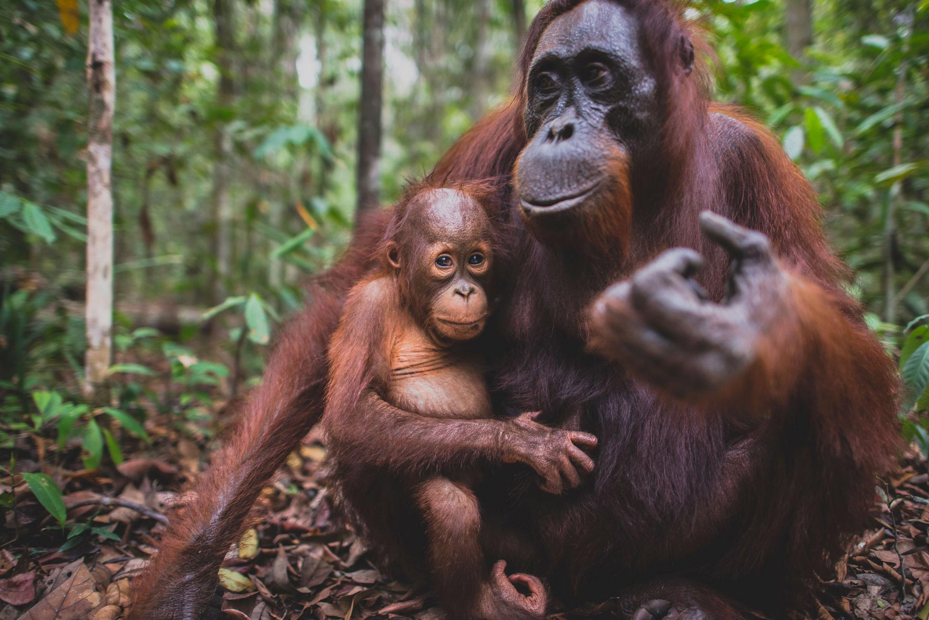 Mother and Child Orangutan