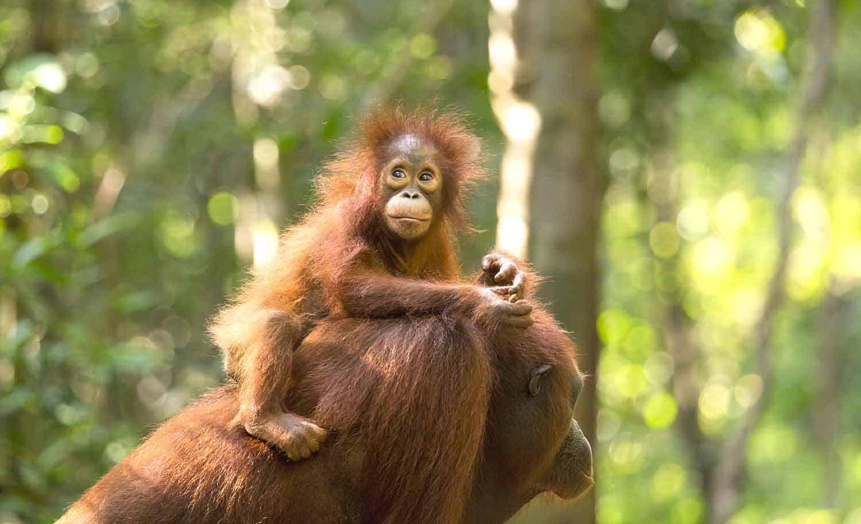 Orangutan baby Borneo