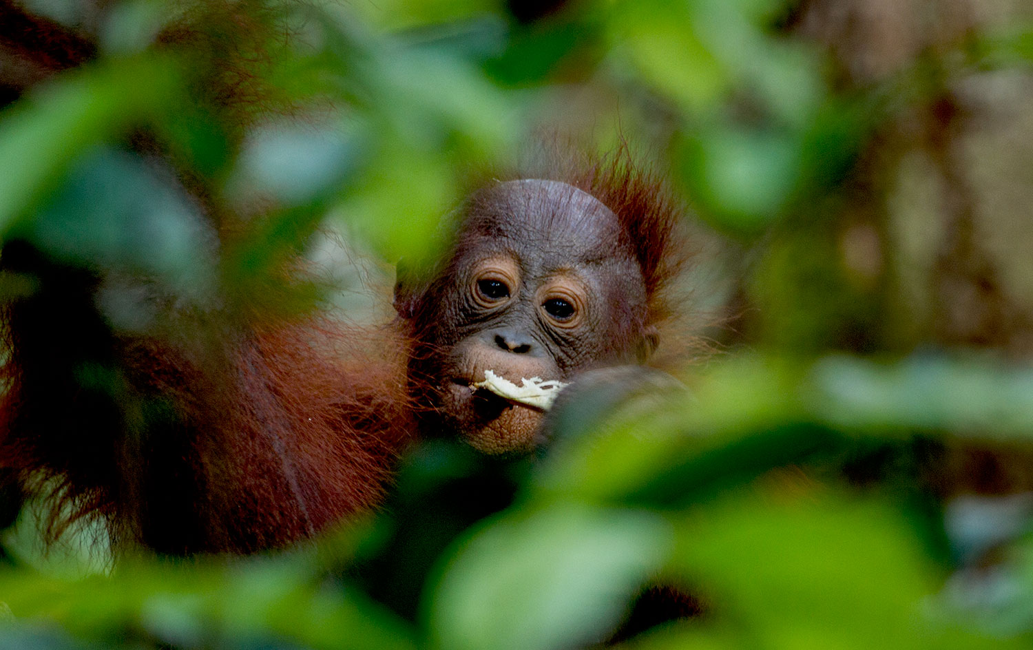 Can COVID19 affect Orangutans?