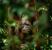 orangutan in forest Borneo