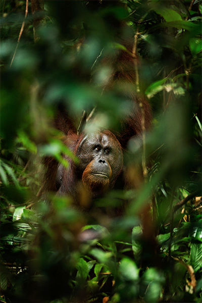orangutan in forest Borneo