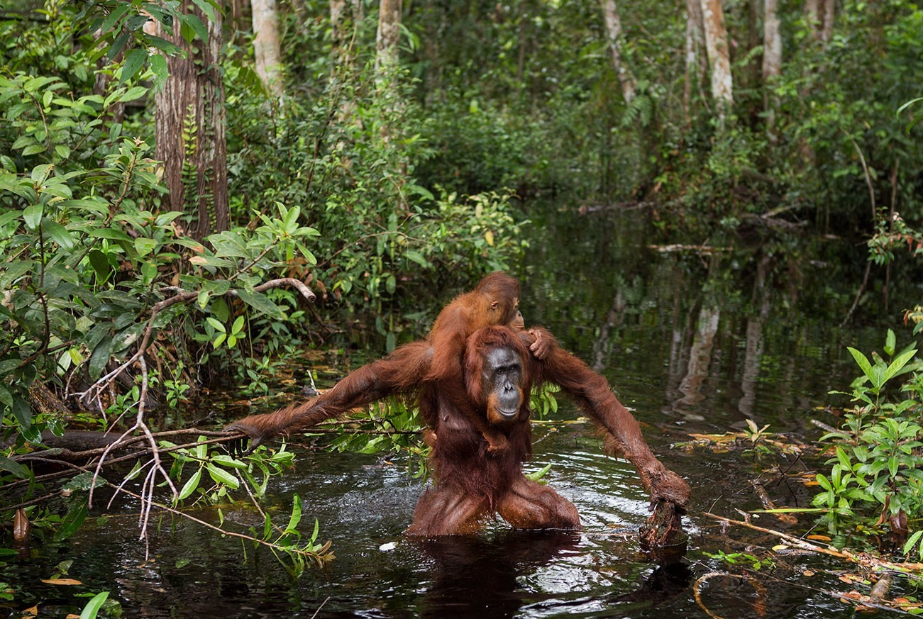 Mother and baby orangutans crossing river, Borneo in Indonesia