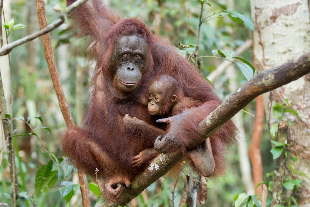 baby and mother orangutan standing on thin branch