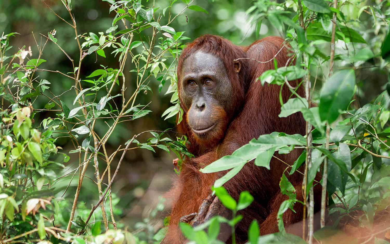 Old Orangutan Borneo