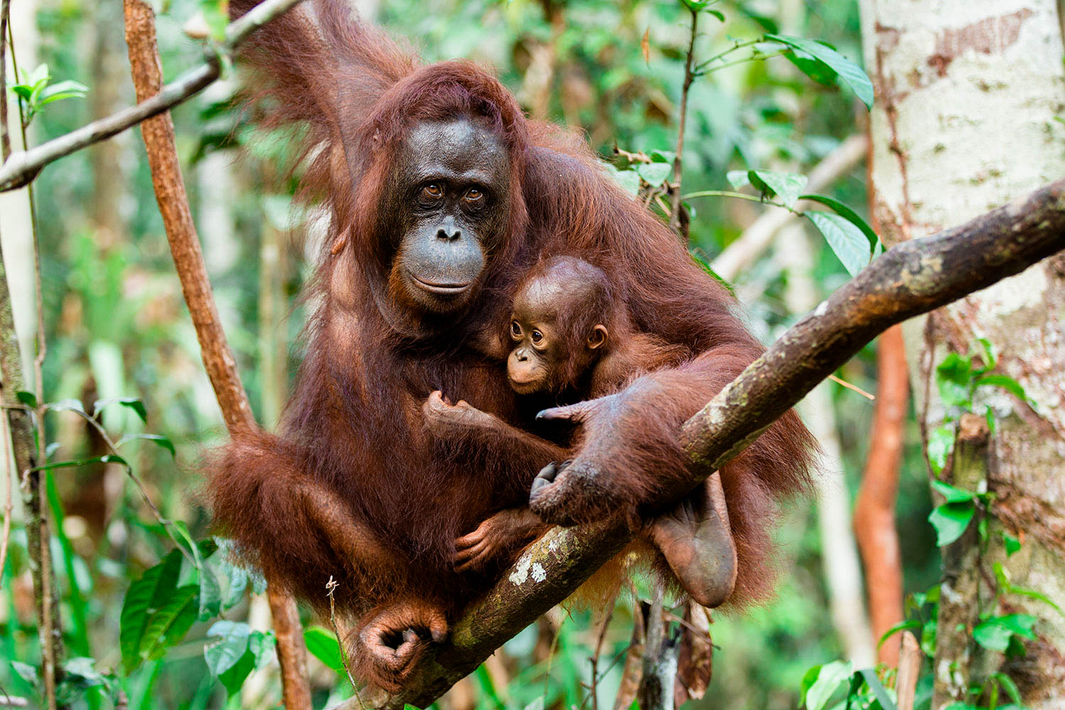 Orangutan Mother Baby Borneo