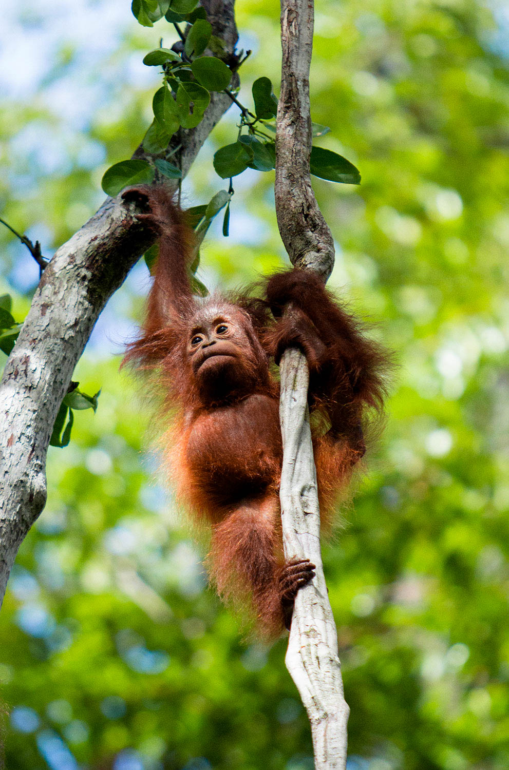 Orangutan Baby On Branch