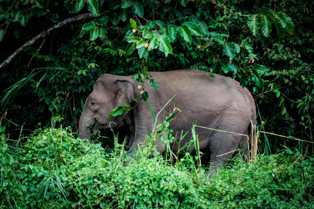 The Borneo Elephant